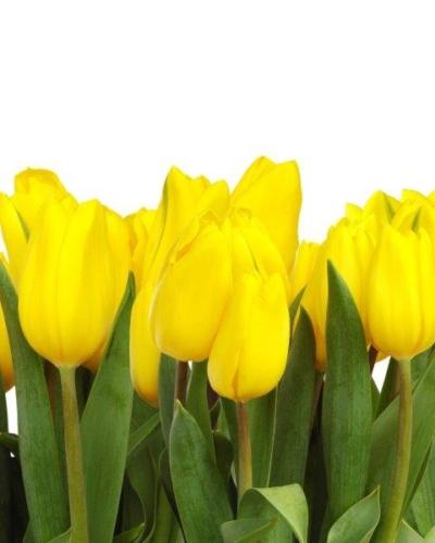 tulipany1