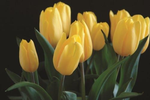 tulipany czarne