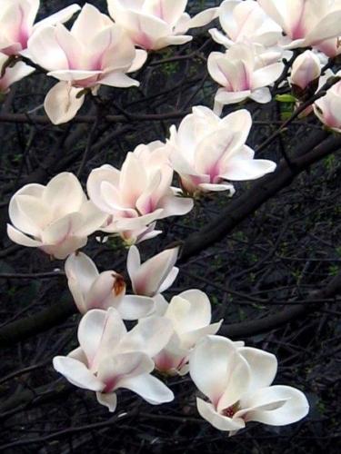 magnolie  (1)